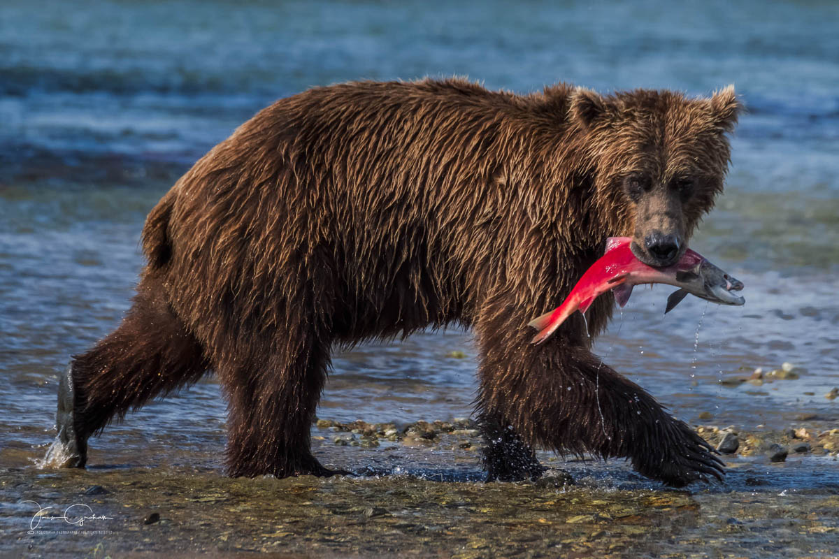 alaskan grizzly bear carrying salmon