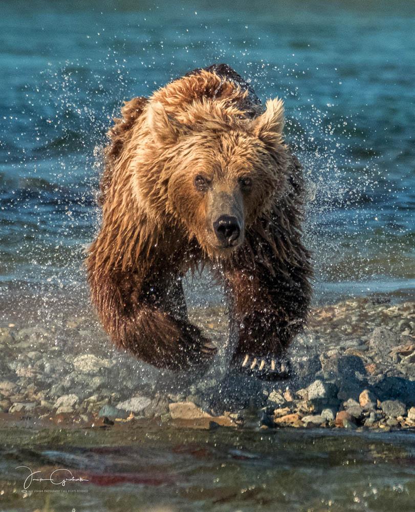 grizzly-headon