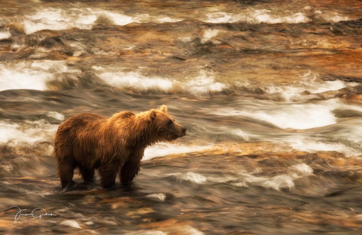 grizzly-in-stream