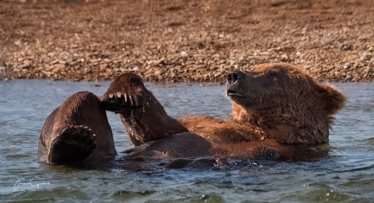 grizzly-playful